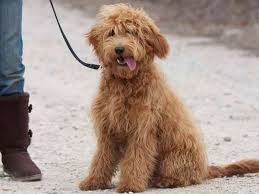 afghan hound and poodle the 28 cutest mixed breed pups that will melt your heart