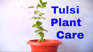 how to grow u0026 care holy basil tulsi plant indoor october 2016