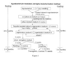 jatropha wikipedia patent us20110247099 genetic transformation of jatropha curcas