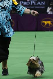 affenpinscher seattle oregon bred silky terrier takes best in breed at westminster the