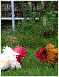 amazing chickens pro u0027s and con u0027s of having a rooster stoney