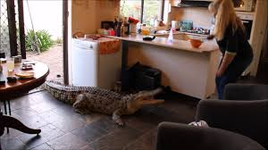 in house crocodile comes inside house to be fed