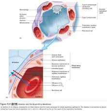 lungs anatomy of the respiratory system study material