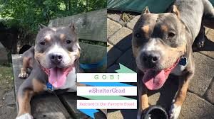 american pitbull terrier wanted dog rescue stories gobi has fostered three rescued pups