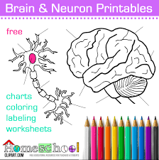human brain and neuron coloring pages labeling worksheets charts