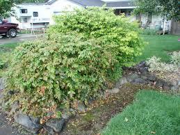 pacific northwest native plants evergreen shrubs sound native plants