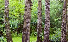 silver birch wallpaper wallpapersafari