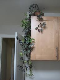 indoor climbing plants u2013 how to grow climbing houseplants