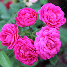 buy miniature button pink plant at nursery