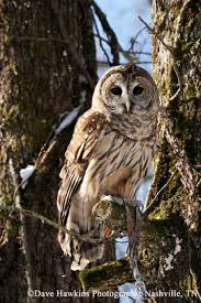 tennessee watchable wildlife barred owl habitat water
