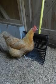 chicken manure management hencam