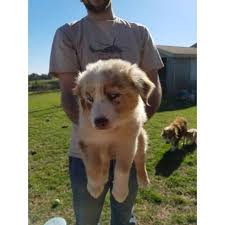 south carolina australian shepherd rescue puppies for sale