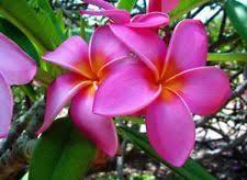 Tropical Climbing Plant - sand full sun tropical vine u0026 climbing plant seeds ebay