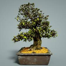 bonsai tree 3d model low poly tree cgtrader