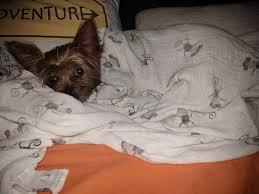bartender resume template australian terrier club of america yorky asleep in kids bed jpg