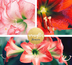 amaryllis flowers amaryllis meaning and symbolism ftd