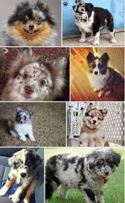 australian shepherd meme i found speckles on toy australian shepherd pomeranian mix and