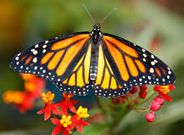 prince of orange butterfly