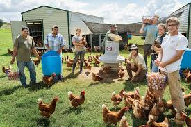 raising backyard chickens for