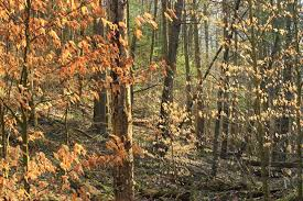 why do the leaves of some trees turn brown but not drop mnn