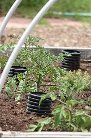 how to deep water tomato plants definately will be doing this