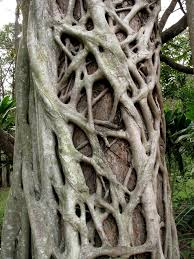 Adaptations Of Tropical Rainforest Plants - strangler fig rain forest reports