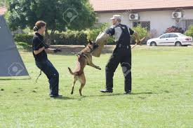 belgian malinois police dog training belgian malinois in the attack stock photo