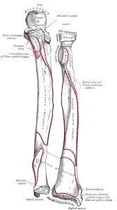 Anatomy Of Human Body Bones Best 25 Radius And Ulna Ideas Only On Pinterest Ulna Bone