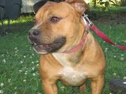 american pitbull terrier akc celtic sun puppies for sale