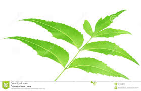 neem tree leaves background royalty free stock images image