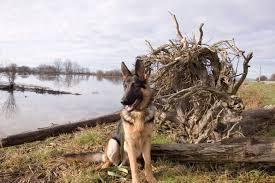 belgian shepherd vancouver february 2011 kari neumeyer rhymes with safari