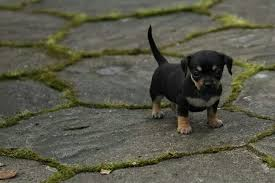 affenpinscher and chihuahua chiweenie a chihuahua and dachshund mix spockthedog com