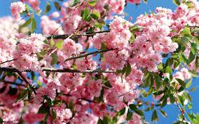 pink blossoming tree hd wallpaper