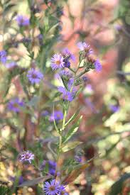 california native plant society blog the bee gardener agriculture and natural resources blogs