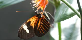 genetic switch that turned moths black also colours butterflies