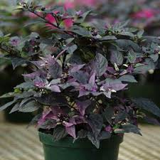 ornamental pepper purple flash harris seeds