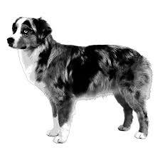 e locus australian shepherd embark dog dna test breed