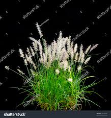 isolated ornamental grass on black stock photo 16142365