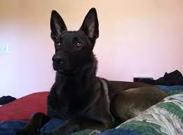 belgian shepherd malinois mix lost dog female black shepherd malinois mix big red rd alpine