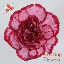 purple carnations purple carnations amazingflowersusa