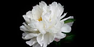 peony flower 12 facts about peonies history of the peony flower