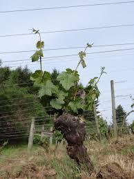 the vineyard ruby vineyard u0026 winery