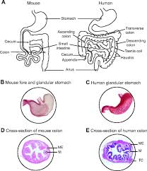 The Anatomy Of The Human Brain How Informative Is The Mouse For Human Gut Microbiota Research