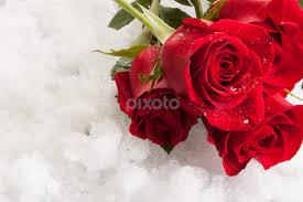 valentine roses valentines day public holidays pixoto