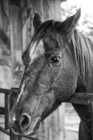 Black Mustang Horse Free Images Black And White Stallion Mane Bridle Bw Head