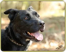 belgian shepherd dog rescue bradenton fl belgian shepherd mix meet andy a dog for