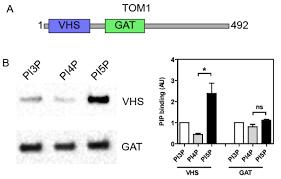 liposome flotation assays for phosphoinositide protein interaction