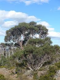 eucalyptus coccifera