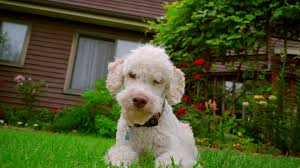 white dog looking at camera white poodle dog lying on grass near