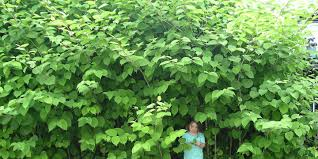 japanese knotweed the invasive plant that eats the value of your home